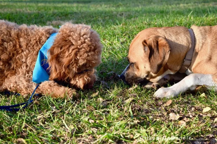 Dog and Service dog in training lying on grass searching for treat at Warriors' Best Friend