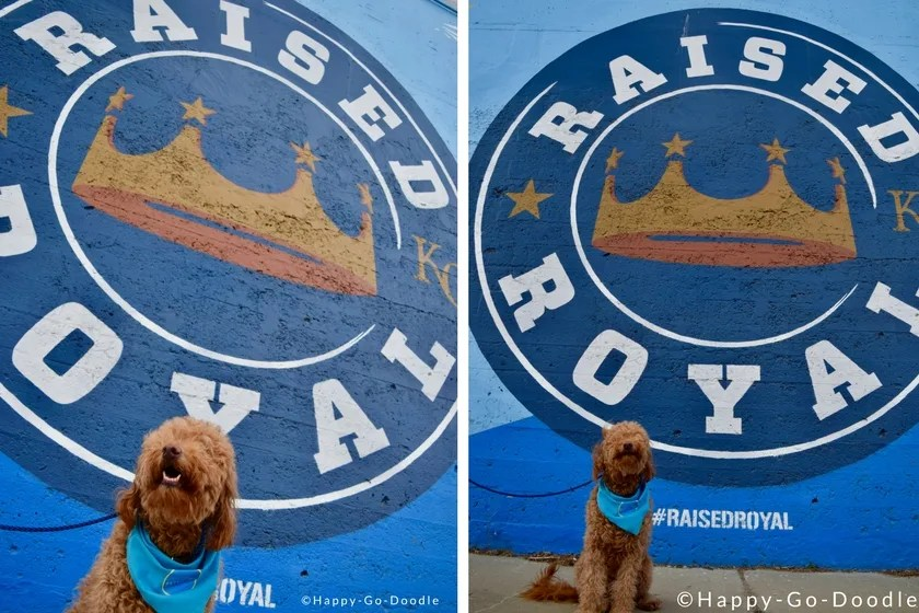 Kansas City Royals Wall and red goldendoodle in dog-friendly Kansas City MO