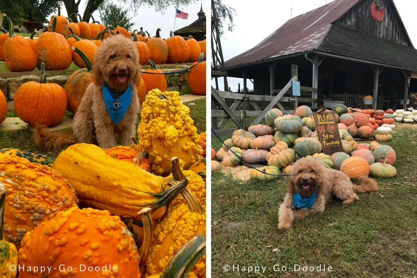 Dog-friendly Pumpkin Farm with piles of pumpkins and goldendoodle sitting in them