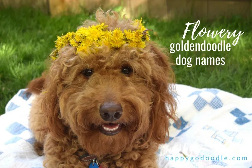 Red goldendoodle dog with flower crown and title Flowery Goldendoodle Dog Names