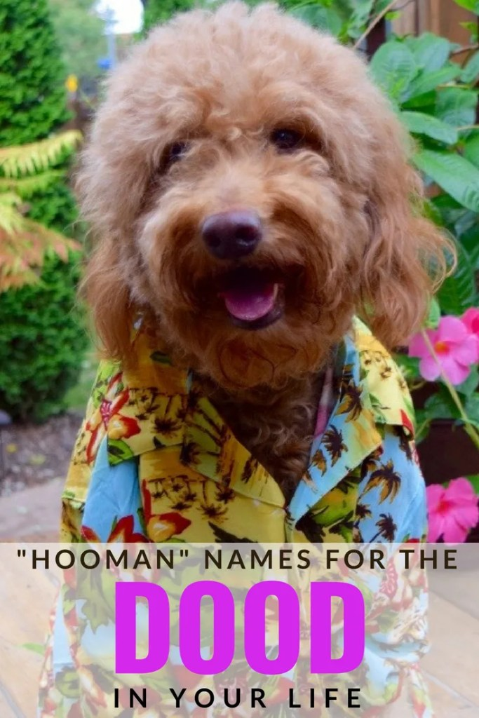 "Red goldendoodle dog wearing hawaiian shirt and title ""hooman"" names for the dood in your life"