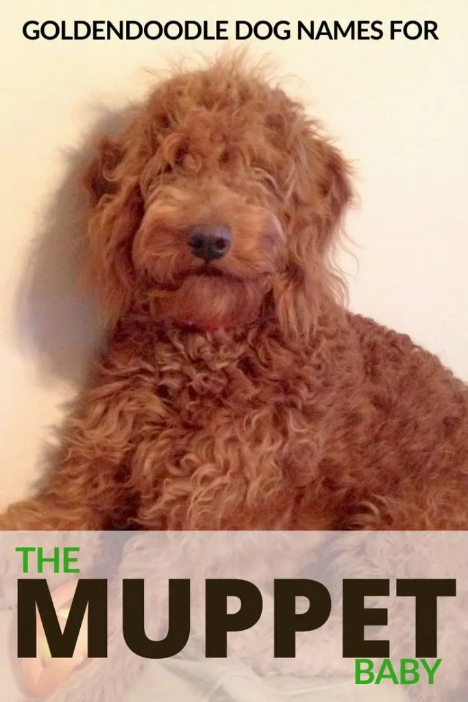 Fluffy red goldendoodle dog with lots of hair and title goldendoodle dog names for the muppet baby