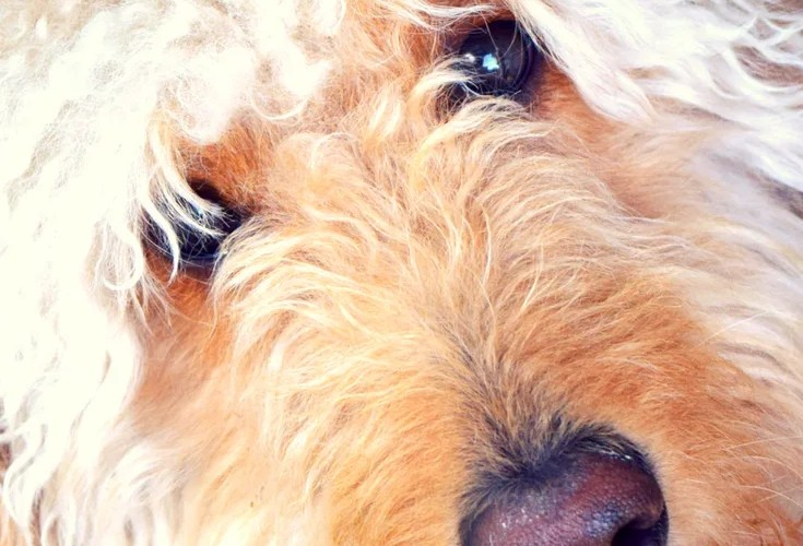goldendoodle dog's face and title 101 adorable goldendoodle names