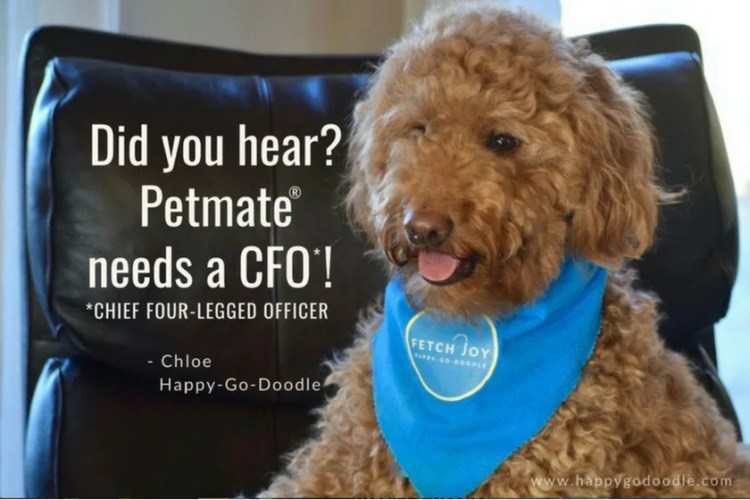 Red dog with blue bandana sitting in leather chair announcing dog contest and title Did you hear? Petmate needs a CFO Chief Four-Legged Officer