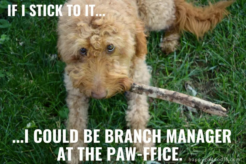 goldendoodle dog with stick and caption If I stick to it, I could be branch manager at the paw-ffice as an example of happy dog puns, photo.