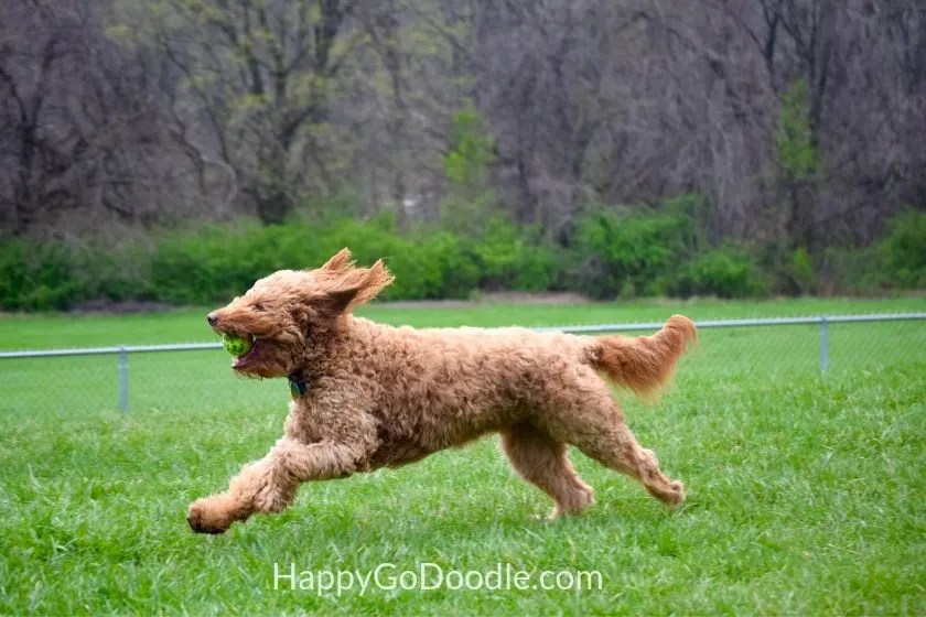 goldendoodle dog in full stride