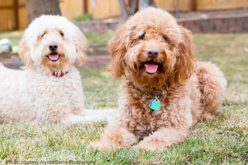 two loveable doodles one red goldendoodle sitting next to a cream goldendoodle