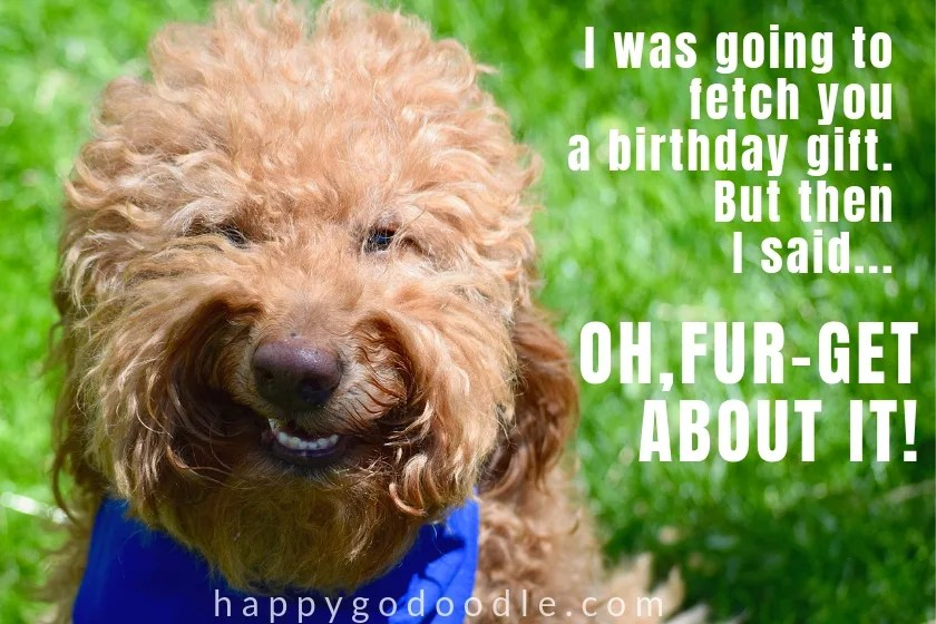 funny dog birthday meme with photo of goldendoodle dog face and joke about present