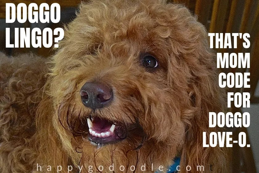 doggolingo meme and red goldendoodle dog's face photo