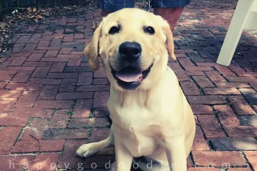photo labrador retriever puppy sitting at dog-friendly restaurant in amelia island