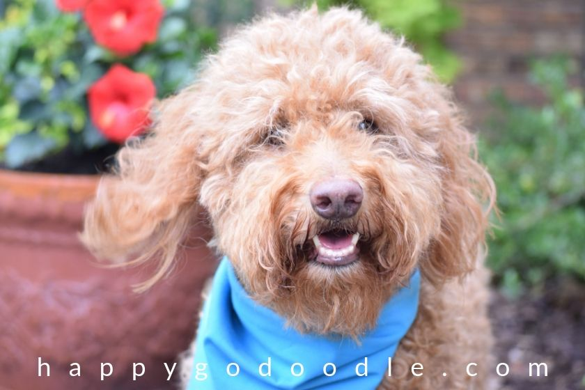 red goldendoodle dog photo