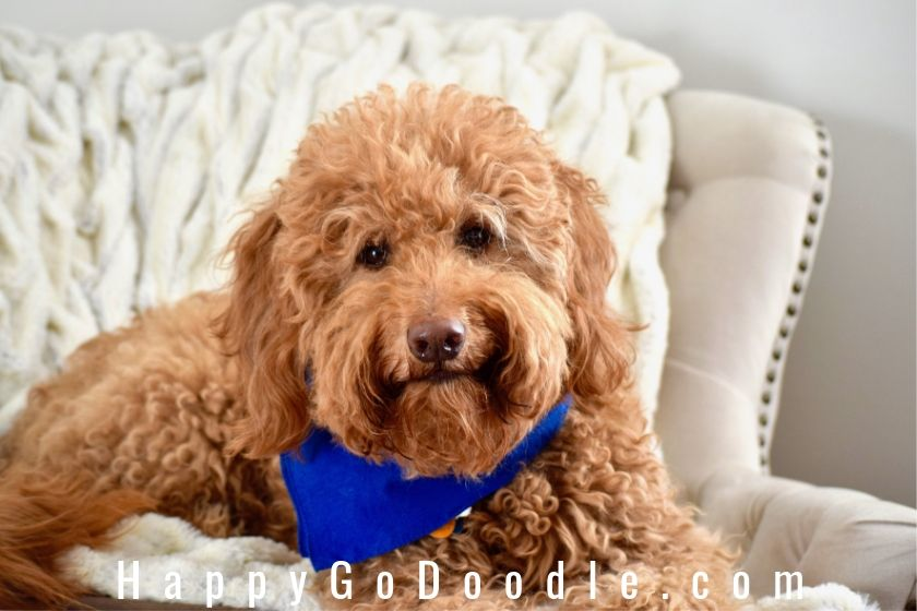 The Red Goldendoodle 7 Things You May Not Know About Em Happy Go Doodle