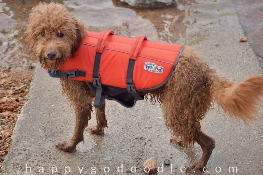photo of Goldendoodle wearing life vest