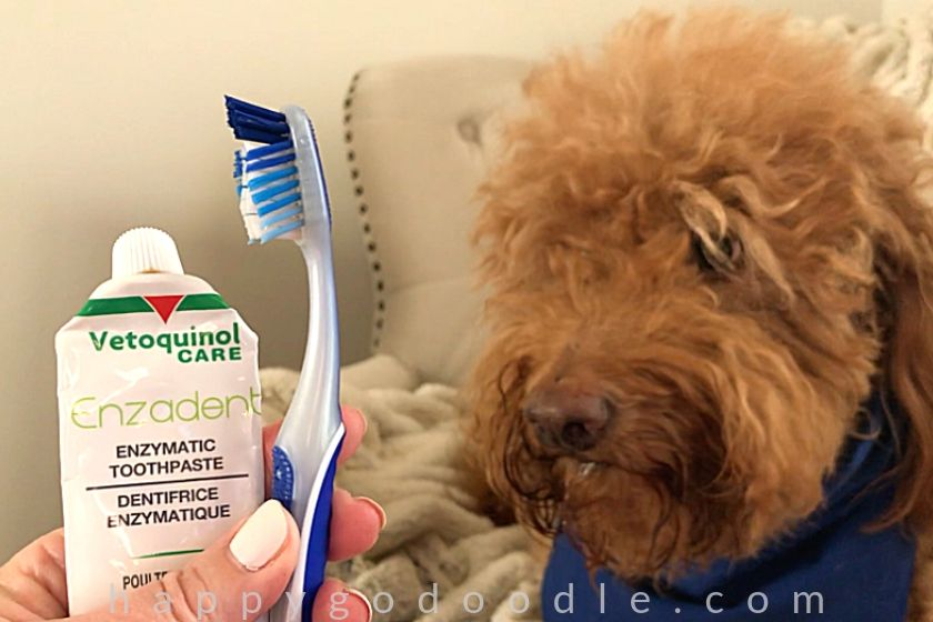 photo of red goldendoodle dog looking at doggie toothpaste tube and soft-bristled toothbrush