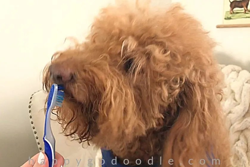 photo red goldendoodle dog brushing front teeth