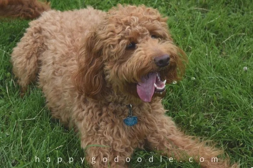 photo red goldendoodle dog with smiley face showing white teeth