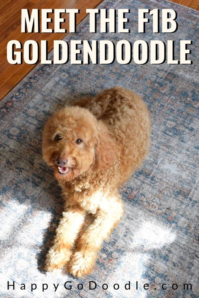 photo goldendoodle and title meet the f1b goldendoodle