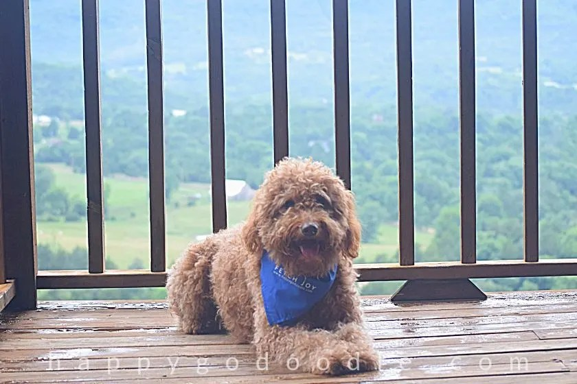 photo red goldendoodle dog sitting on deck overlooking Ozark mountains