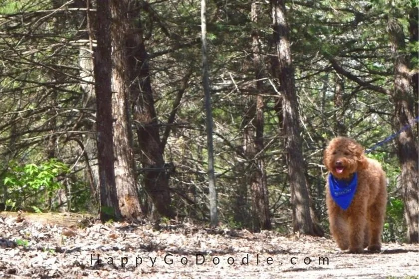 photo of a red goldendoodle walking in the woods