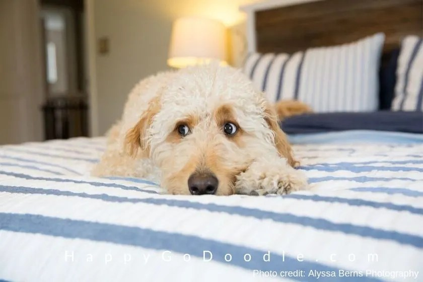 photo of white F1 Goldendoodle dog
