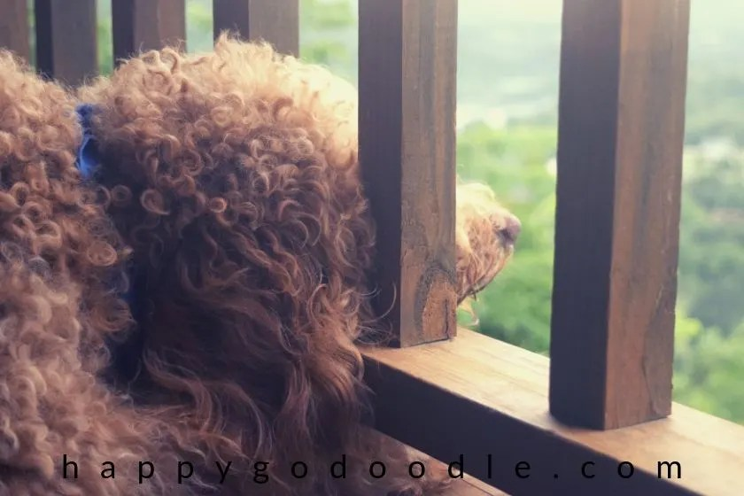 photo of red goldendoodle dog looking out at the view of the ozark mountains