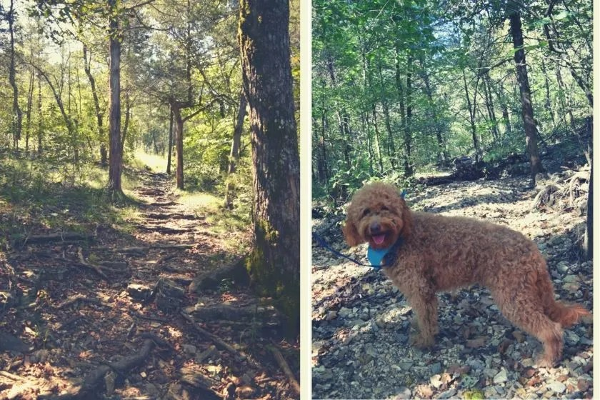 photo of red goldendoodle dog on a trail at lake leatherwood in arkansas