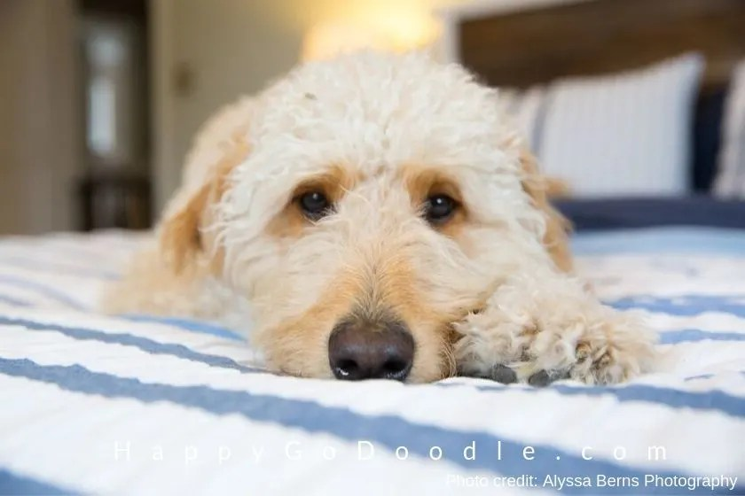 photo of white f1 Goldendoodle's face