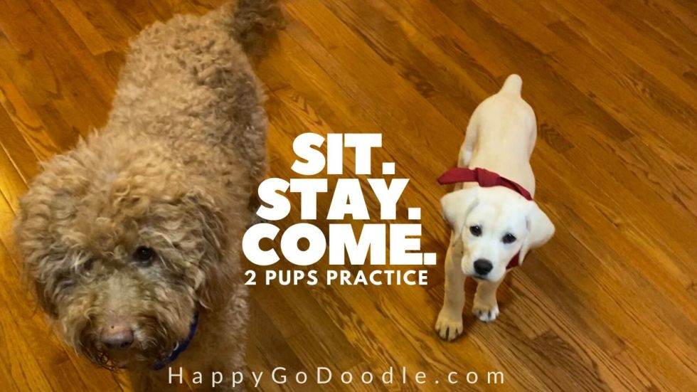 photo adult goldendoodle dog and labrador retriever puppy after introductions ready to practice sit command