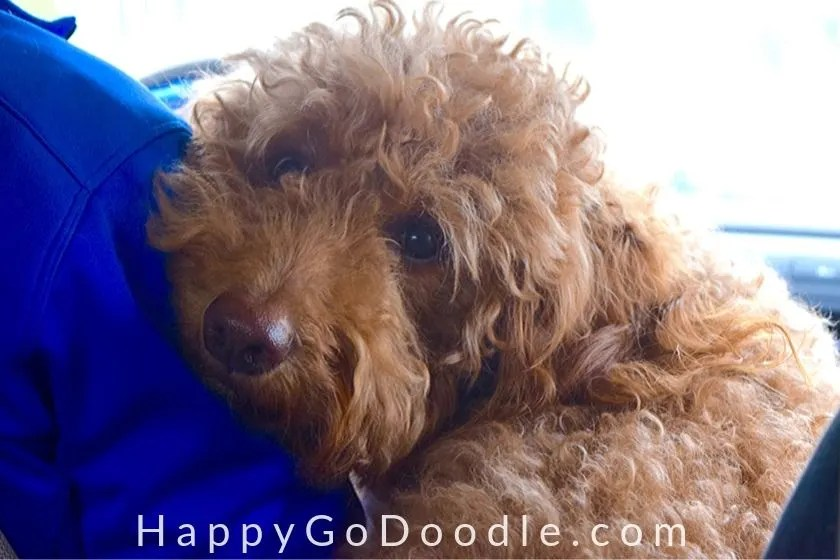 red goldendoodle dog leaning on person's shoulder