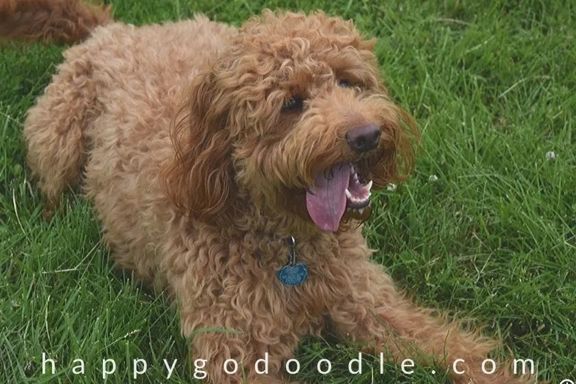Adult Goldendoodle with tongue hanging out, looking happy. Photo.