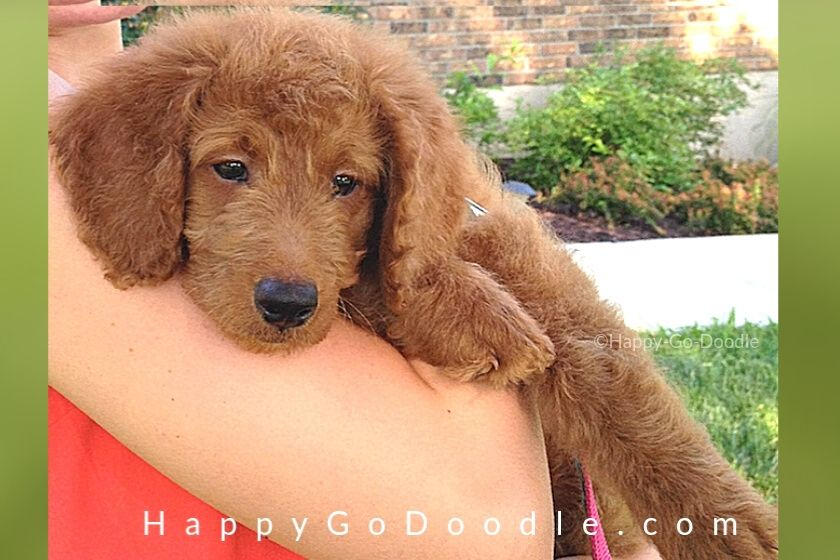 8-week-old Goldendoodle puppy being held by owner. 1st photo in series to show Goldendoodle lifespan.