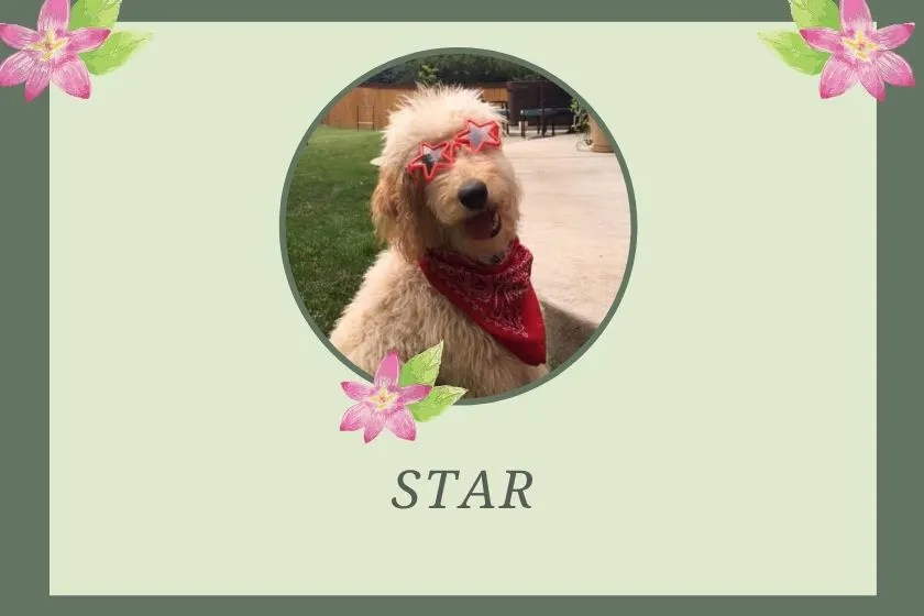photo inset of goldendoodle wearing star sunglasses and named star on green graphic