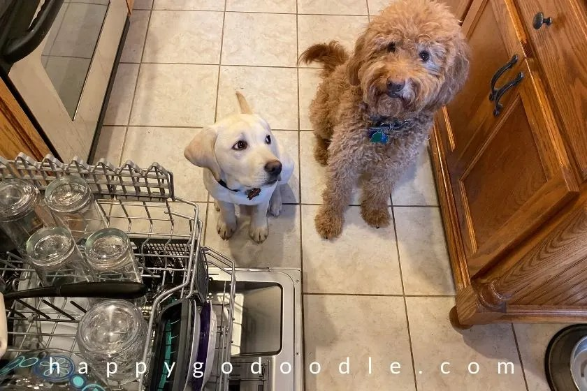 goldendoodle dog and lab puppy both sitting and staying in kitchen. photo