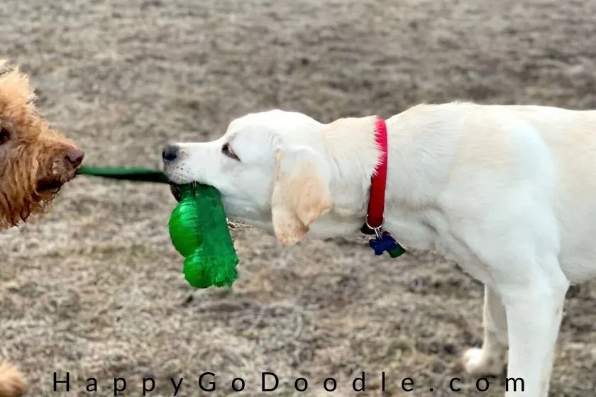 labrador puppy and goldendoodle tugging on green kong toy. photo