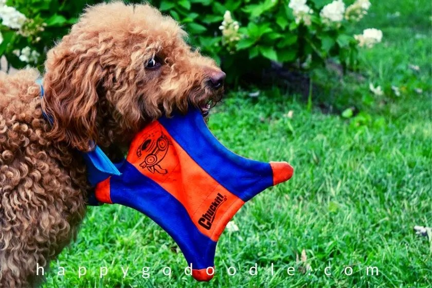 games-play-with-dog-goldendoodle-with-fetch-toy