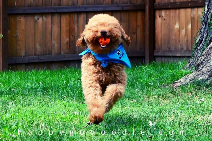 dog-games-goldendoodle-fetching-ball