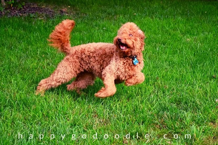 goldendoodle-dog-playing-fetch-game