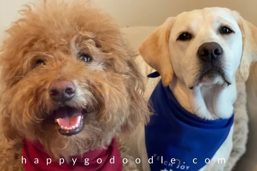 Smiley faces of an F1B Goldendoodle and a Labrador Retriever pup. Photo.