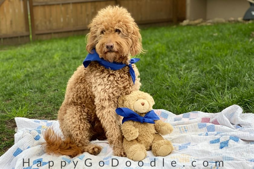 Apricot, light-red Goldendoodle sitting next to a teddy bear like twins. Photo.