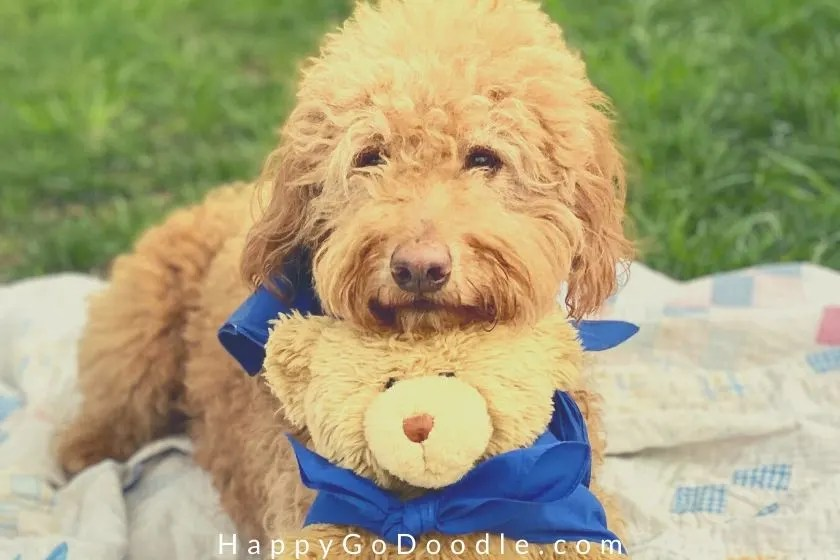 close up of Goldendoodle's face trimmed in a teddy bear cut and cuddled on top of a teddy bear. photo.