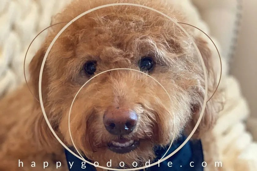 photo of a red goldendoodle's face with simple graphic overlay to show the similarity between the goldendoodle face and the teddy bear face. photo