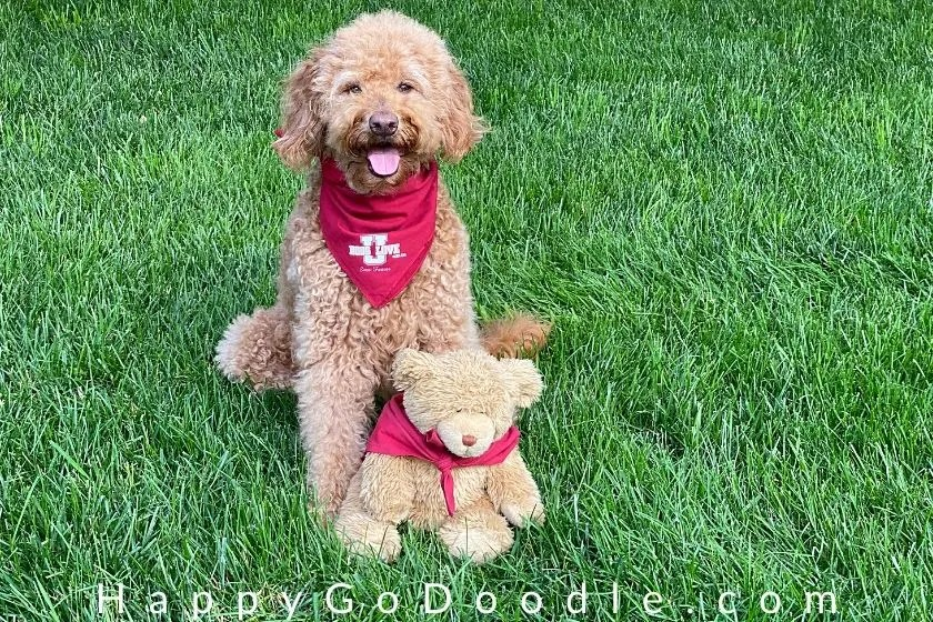 Medium-sized Goldendoodle with a  teddy bear stuffed toy. Both wearing bandanas and look alike. photo.