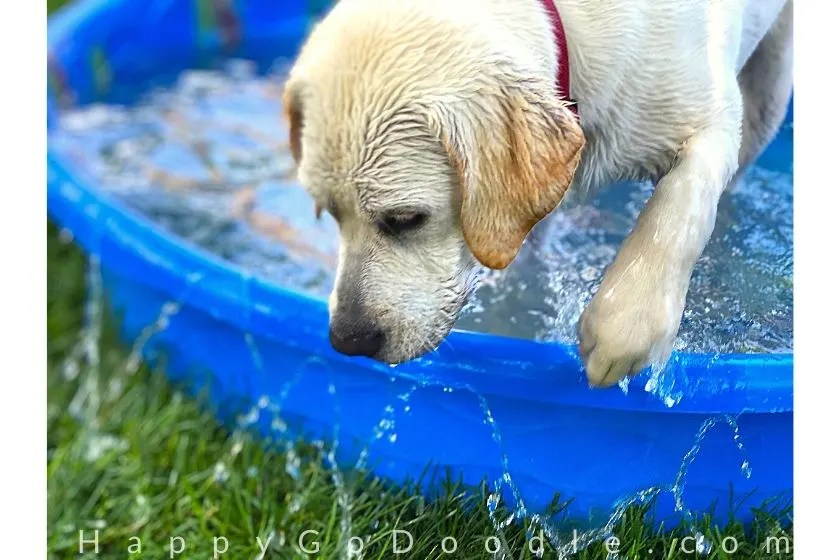 yellow labrador puppy hoping out of bright blue baby pool onto green grass as example of colors as a happy thing, photo