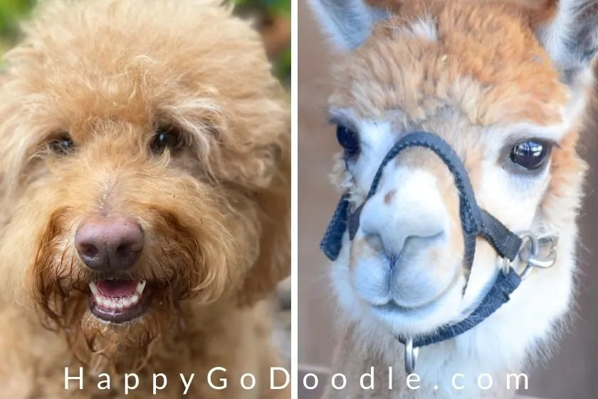 a photo of a golden doodle dog's face next to a llama's face, photo.