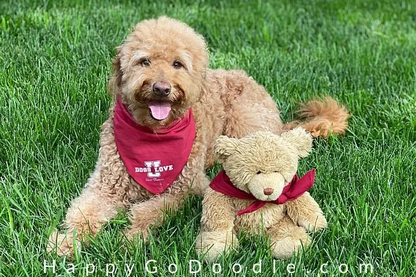 happy f1b goldendoodle sporting a teddy bear haircut and sitting by a stuffed teddy bear. photo.