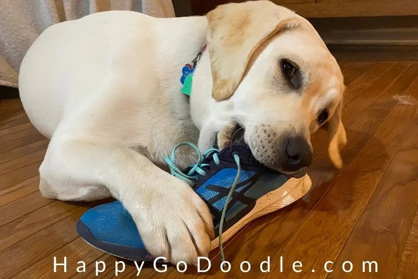 Yellow Lab puppy chewing on shoe, photo