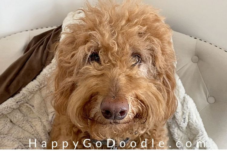 goldendoodle dog's cute face, photo