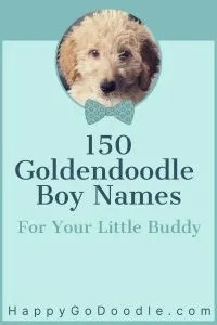 photo of Goldendoodle puppy and title 150 Goldendoodle Boy Names for Your Little Buddy