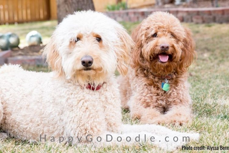 creamy white f1 goldendoodle sitting by red f1b goldendoodle, photo