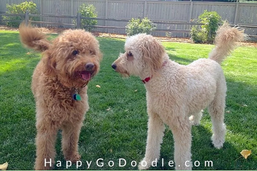 Red adult F1b Goldendoodle standing by a creamy white F1 Goldendoodle on green grass, photo